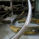 Палеонтология: бивнимамонта в разной стадии сохранности