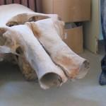 Палеонтология: череп мамонта и ноги палеонтолога