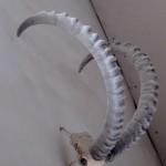Палеонтология: козёл ледникового периода