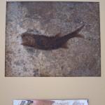 Палеонтология: древнейшая рыба