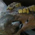 Палеонтология: челюсть шерстистого носорога